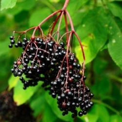 Ягоды черной древовидной бузины