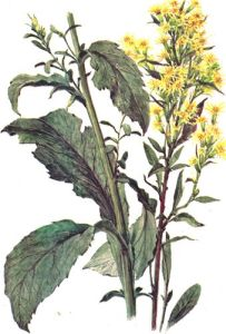 ������� ����� (����������, Solidago virgaurea)