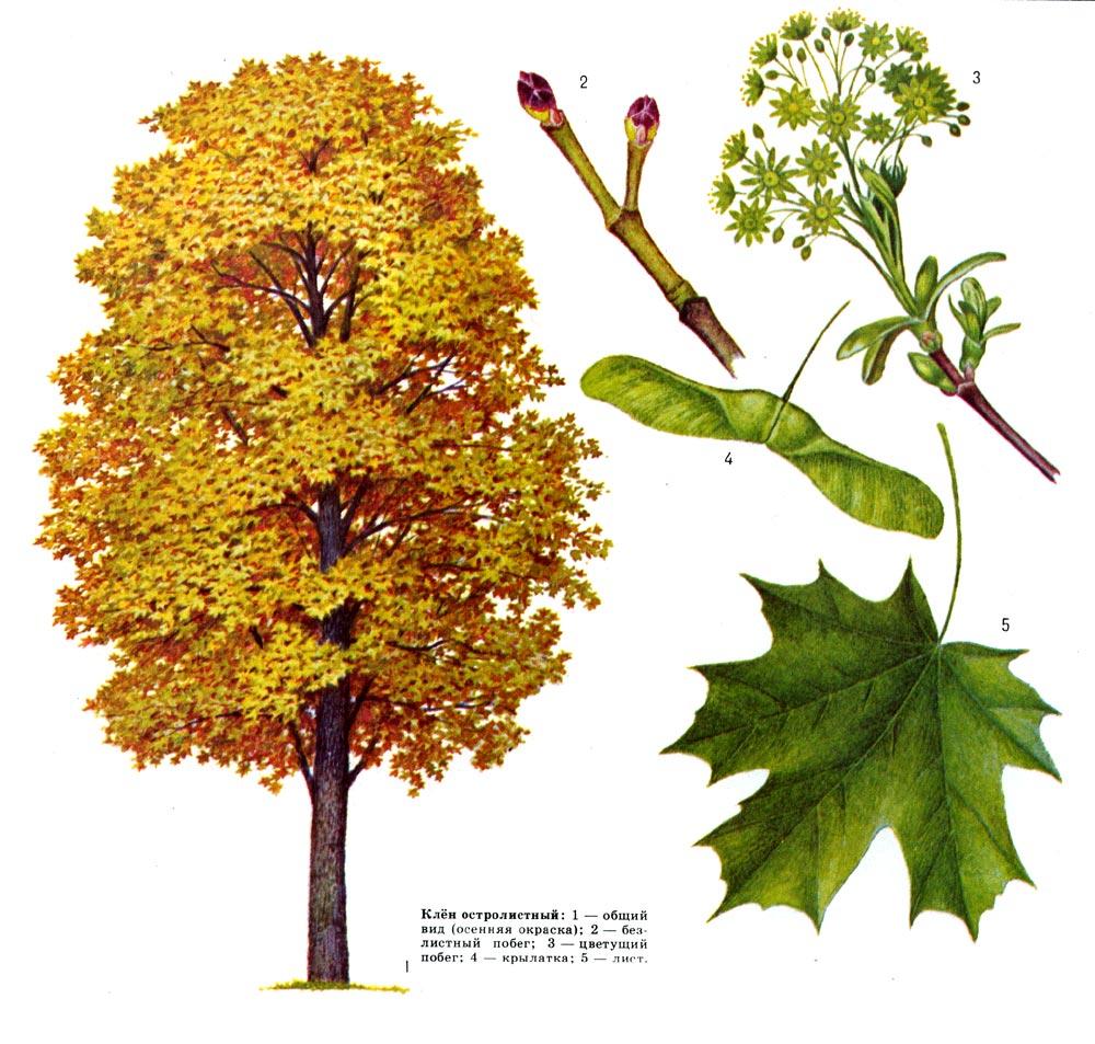 Магия и энергия леса Клен - лиственное дерево высотой 20-30 м. Растёт одиночно...