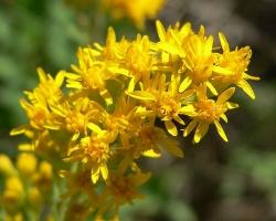 Золотая розга (золотарник, Solidago virgaurea)